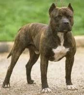 Pitbull-terrier