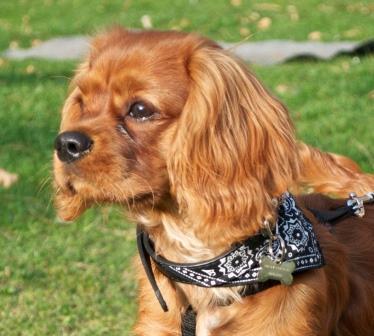 Hundehvalp – Ny hvalp i hjemmet