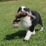 Hvalpetræning ved Den Glade Hundeskole